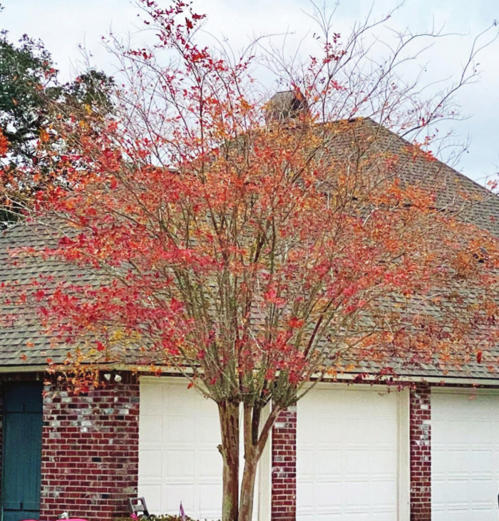 The great crape myrtle controversies
