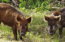 Law change allows for year-round hunting of feral hogs, coyotes, armadillos