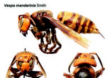Asian hornet not found in Louisiana